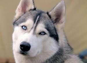 如何护理哈士奇眼睛 让哈士奇犬更健康